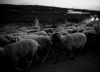 Schafsherde quer durch Mallorca.jpg