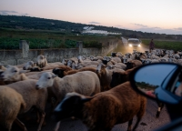 Schafsherde auf Mallorca.jpg