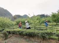 Teeplantage in Vietnam.jpg