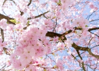 japanischer Kirschnaum.jpg
