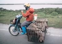 Schweinetransport in Vietnam.jpg