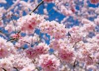 Kirschbluete im Fruehling